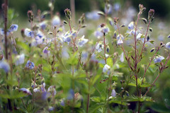 Hodge Pond Flowers (Cody Stonerock) Tags: newyork newyorkstate nature canon canon28mm dof depthoffield bokeh willowemocwildforest willowemoc hodgepond hike outside digital cloudy green flowers wildflowers blue 2017 may upstate may2017 spring spring2017