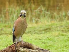 Jay (LouisaHocking) Tags: jay southwales forestfarm cardiff british bird woodland wild wildlife wales nature