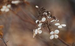 Cloverfield (AlexanderHorn) Tags: clover bush nature fall autumn cold earth