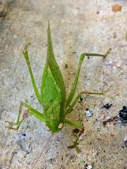 Grillo (allozano2002) Tags: verde insecto salta montes naturaleza vista ojos vida bicho