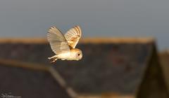 Barn Owl (Steve (Hooky) Waddingham) Tags: stevenwaddinghamphotography animal countryside coast bird british barn nature northumberland voles mice flight wild wildlife prey