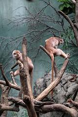 Bronx Zoo (ix) (sarah-sari19) Tags: june summer outside outdoors nyc newyork bronxzoo zoo animals wildlife nature langur monkey trees climb
