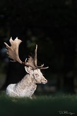 White Figure (DanRansley) Tags: britain damadama danransleyphotography danransleynet england fallowdeer uk animal antlers autumn buck buckkoftheday countryside deer mammal nature wildlife