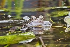 _W4A8683 Frog (Rana temporaria) (ajmatthehiddenhouse) Tags: kent stmargaretsatcliffe garden uk 2018 frog amphibians rana temporaria ranatemporaria commonfrog amphibian