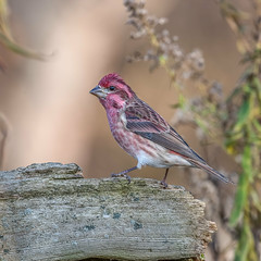 Purple finch (Joe Branco) Tags: bird birds lightroom photoshop macro flower grass branco joe wildlifephotography nikond850 nikon joebrancophotography purplefinch green
