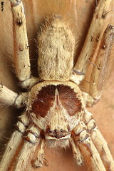 Close-up of Huntsman (harshithjv) Tags: spider huntsman canespider giantcrabspider heteropoda venatoria arachnid arachnida araneae sparassidae canon 80d tamron macro 90mm godox raynox dcr250