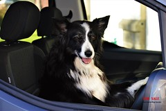 Asha a Driving Force to be reckoned with (ASHA THE BORDER COLLiE) Tags: funny border collie picture driving force car for sale dog handler ashathestarofcountydown connie kells county down photography