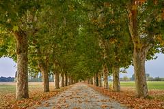 Long tree-lined lane to Tenuta Il Castelletto near Pinerollo, Piedmont Region near Turin, Italy (diana_robinson) Tags: treelinedroad lane autumnleaves fall autumntrees planetrees tenutailcastelletto rural pinerollo piedmontregion turin italy nikonflickraward