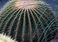Cactaceae (natyasanchez) Tags: cactaceae cactus echinocactus echinocactusgrusonii goldenball goldenbarrel biznaga plant globoso samsung samsungnx spines botany