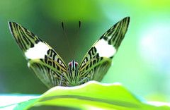 Green Light (dianne_stankiewicz) Tags: nature wildlife green greenlight mosaic zebramosaic hmm macromondays