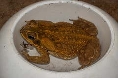Rhinella marina (Cane Toad) - Bufonidae - Gamboa, Soberiana NP, Panama (Nature21290) Tags: amphibian anura bufo bufomarinus bufonidae canetoad gamboa panama2018 soberiananp toad