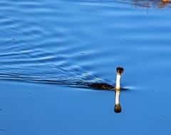 Western Grebe_9 (SamOphoto2011) Tags: canon california sandiego birds 14iiteleconverter robbfield westerngrebe aechmophorusoccidentalis 7dmarkii grebes 100400lmarkii sandiegoriver