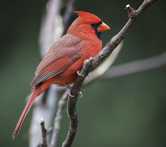 Northern Cardinal male (Yer Photo Xpression) Tags: ronmayhew canoneos6dmarkii northerncardinal red bird male coth coth5