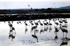 Gruses in the Hula Lake - Israel (Lior. L) Tags: grusesinthehulalakeisrael gruses lake israel hulalake nature reflection reflections