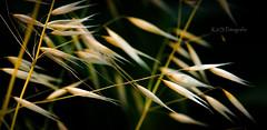 Grasses (K&S-Fotografie) Tags: grasses gräser summer light sun field sunlight botanical beautiful makro