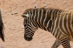 Zebra (videofotoeventi) Tags: anima animali wild life photography zebra tamarino chioma di cotone tigre suricato struzzo rinoceronte puma pinguino orso bruno lemure variegato giraffa ibis rosso iena gru coronata ghepardo gatto coccodrillo farfalla gabbiano fenicottero