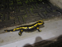 Special Guest: the salamander (greg_998) Tags: salamander amphibian wildlife