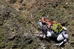 Ornate hopper, Scaphiophryne gottlebei, in native habitat, Isalo National Park, Madagascar (Brad Wilson, DVM) Tags: rainbowburrowingfrog gottlebe'snarrowmouthedfrog explosivebreeder iucnredlistendangered malagasyrainbowfrog scaphiophrynegottlebei microhylidae frog isalonationalpark desert habitat scaphiophryne