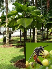 Sucking Hard. Asian Honeybee, Apis cerana, and Licuala grandis, Ruffled Fan Palm, Taman Botani Perdana, Kuala Lumpur, Malaysia (Rana Pipiens) Tags: palm apiscerana asianhoneybee licualagrandis ruffledfanpalm tamanbotaniperdanakualalumpurmalaysia sucking nectar flower insect bee tree honeybee