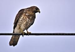 Maybe a Broad-wing (ShacklefordPhotoArt) Tags: avian raptor hawk broadwing luckyhammock evergladesnationalpark floridacity florida wildlife nature