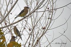 Waxwings (littlebiddle) Tags: arizona coonbluff tontonationalforest bird aves feathers
