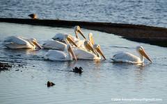 American White Pelican (Pelecanus erythrorhynchos), adult nonbreeding DSC_4567 (fotosynthesys) Tags: americanwhitepelican pelecanuserythrorhynchos pelican pelecanidae bird california unitedstates