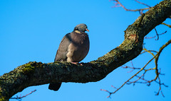 Taube (KaAuenwasser) Tags: vogel vögel baum holz natur taube himmel ast