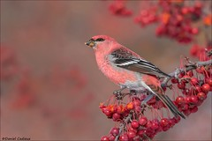 Pine Grosbeak in Matching Crabapple (Daniel Cadieux) Tags: grosbeak pinegrosbeak male red winterfinch ottawa crabapple berries