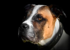'Tugs' (Jonathan Casey) Tags: dog staffy mastiff cross nikon d850 sigma 135mm f18 art black background