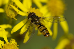 A Hoverfly Spreads Its Wings (steve_whitmarsh) Tags: macro closeup nature wildlife animal insect hoverfly fly yellow flowers topic