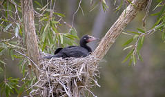 young little pied cormorant (Fat Burns ☮) Tags: littlepiedcormorant microcarbomelanoleucos bird australianbird fauna australianfauna waterbird diver sandycamproadwetlands wynnum queensland australia nikond500 nikon20005000mmf56vr wildlife australianwildlife