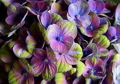 COLORS OF HYDRANGEA (Fimeli) Tags: nature blüte blossom flower blumen hortensie colors macro