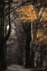 Light in the dark forest (IngridVD. Photography) Tags: herfst peerdsbos bomen bos mist sunlight darkness forest spooky oker yellow nature trre oaktree autumn leaves fineart canon5dmkiv canon photo photography photograph belgium plant art 500px outdoor image popular
