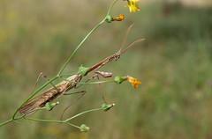 Empusa pennata (M) (J Carrasco (mundele)) Tags: calzadilla extremadura insectos dictyoptera mantodea empusidae empusa