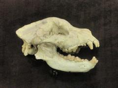 Bone Devourer (edenpictures) Tags: fossil bones skeleton skull prehistoric extinct mammal newyorkcity nyc manhattan americanmuseumofnaturalhistory amnh naturalhistorymuseum museum upperwestside