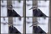 Black-capped Chickadee - Collage de 4 photos de mésange dans la main (rivai56) Tags: montage et collage de 4 photos dune mésange mangeant une graine tournesol dans la main blackcappedchickadee oiseau bird