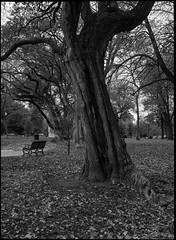 The Trunk (greenschist) Tags: leaves towergrovepark tree film bench analog mediumformat blackwhite park 6x45 berggerpancro400 zenzanonrf65mmf4 bronicarf645