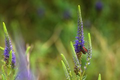 *** (pszcz9) Tags: przyroda nature natura naturaleza kwiat flower owad insect beautifulearth sony a77 bokeh