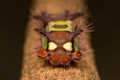 Saddleback caterpillar (Wilmer Quiceno) Tags: saddlebackcaterpillar achariastimulea oruga gusano macro sabaneta