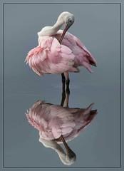 Rosette Spoonbill preening (Christine Fusco) Tags: roseattespoonbill stork spoonbill pinkplumage pinkfeathers beak plumage preening water nature birdphotography naturephotography nikond500 nikkor200500 reflections southcarolina thelowcountry southeast swamp marsh ngc npc