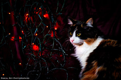 DSC_5186_HDR (Pascal Rey Photographies) Tags: aurorahdr luminar2018 skylum chat chatte cat katze gato gatto animaux animalerie animals animales animali photographieanimalère lights shadowlight lumières ombrelumière fêtes fiesta feast party pascalrey nikon d700 pascalreyphotographies photographiecontemporaine photographie photography photograffik photographiedigitale photographienumérique photographieurbaine