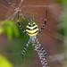 Coquerel's Wasp Spider (Argiope coquereli), female