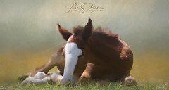 Precious Moments (Lisa S. Baker) Tags: lisasbaker lisabaker filly horse horses wildlife saltriver arizona photography mixed media nap snooze cute sweet painting art