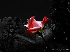 La flor y el fuerte (Manuel Peña Jiménez) Tags: rosa alcazaba castillo fuerte almería noche fujifilmxs1 poesía