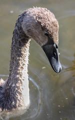 037-1 (Andre56154) Tags: tier animal vogel bird schwan swan wasservogel