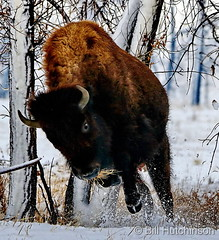 January 12, 2019 - Charging bison bull in the snow. (Bill Hutchinson)