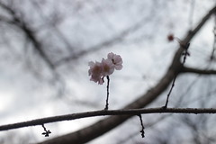 out of season (sogni_hal) Tags: bloom blossom cherry flower hiver winter