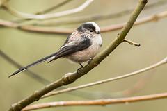 Long Tailed Tit (drbut) Tags: longtailedtit aegithaloscaudatus tits avian bird birds wildlife nature canonef500f4lisusm