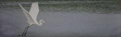 Swoop and Catch (clarkcg photography) Tags: bookmarkcrop nature bird crane heron egret white fish catch eat wildife naturebookmark cof051 cof051dmnq greategret cofo51ksen