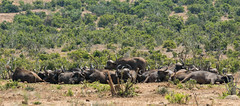 DSC08879 (Paddy-NX) Tags: 2019 20190109 addoelephantnationalpark africa buffalo sony sonya77ii sonyalpha sonyalphaa77ii sonysal70300g southafrica wildlife